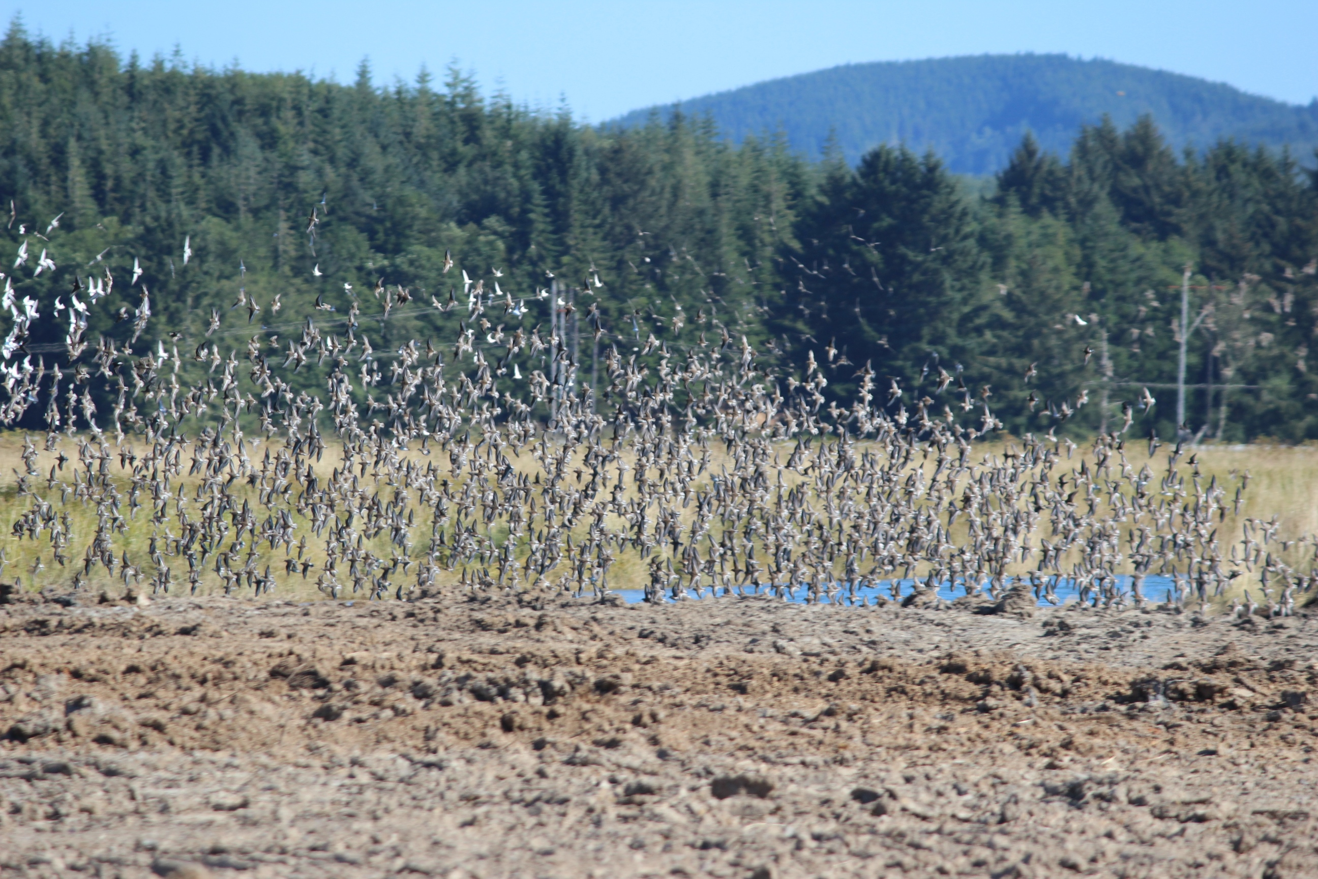 Willapa National Wildlife Refuge celebrates IMBD and Shorebird Stopover Habitat
