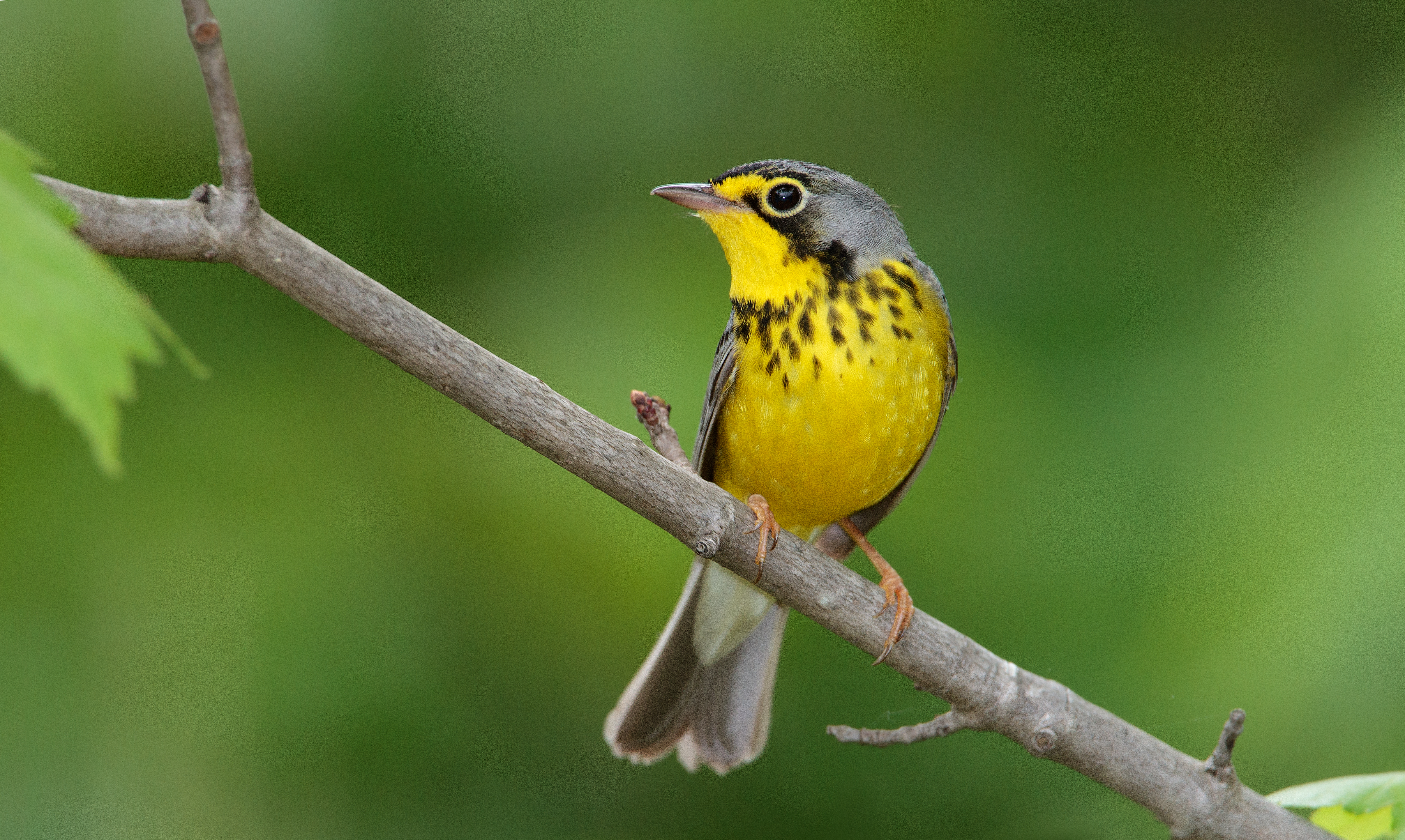 Boreal Forests Provide Stopover Habitat for Northern Migrants