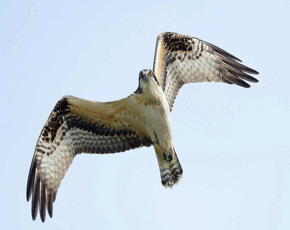 27th Annual Hawkfest at Lake Erie Metropark Celebrates Raptor Migration